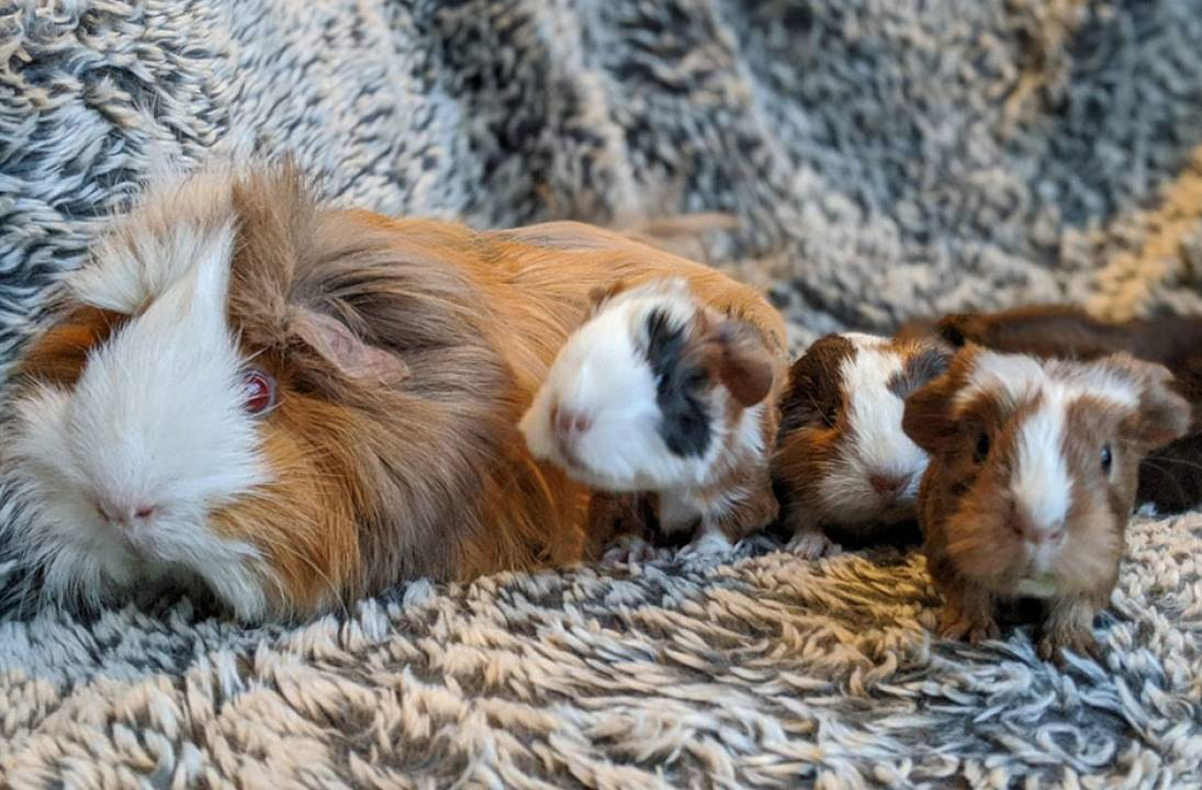 RSPCA received 40 reports about guinea pigs in the West Midlands last year