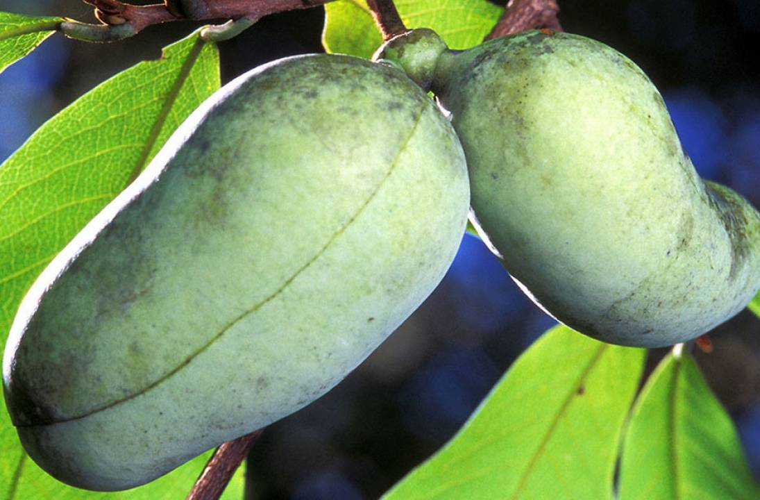 Pawpaw - The Gift of Nature